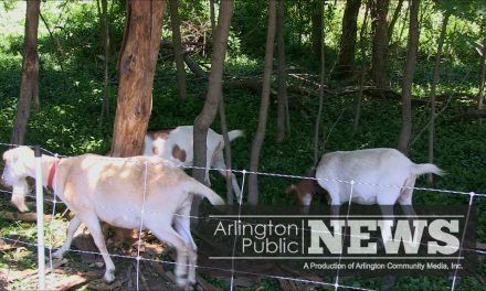 Goatscaping in Arlington