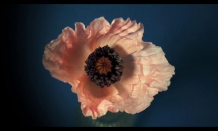 Timelapse of Poppies