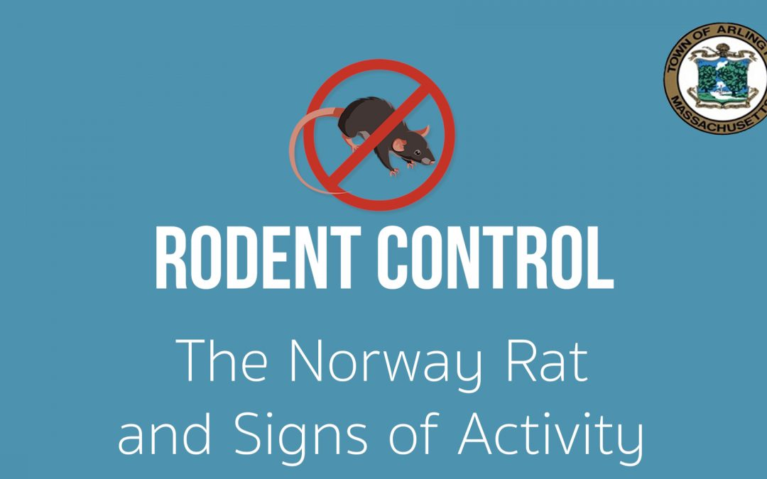 Rodents in Arlington, MA: The Norway Rat and Signs of Activity – Ep. 2