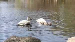Scenes of the Seasons   Swan Family