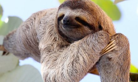 Fun Facts: Sloths