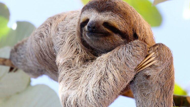 Fun Facts: Sloths